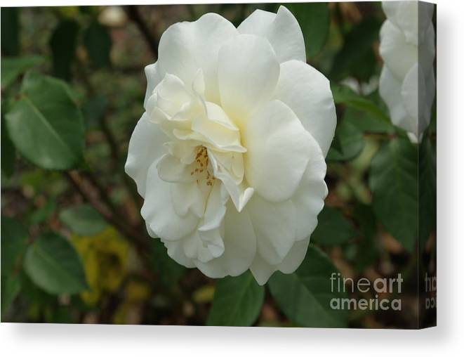 Big Canvas Print featuring the photograph Bountiful White Rose... by Rob Luzier