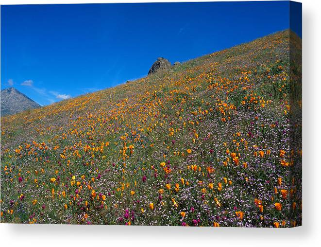 Kern Canvas Print featuring the photograph California Poppies Baby Blue Eyes And Owl Clover by Susan Rovira