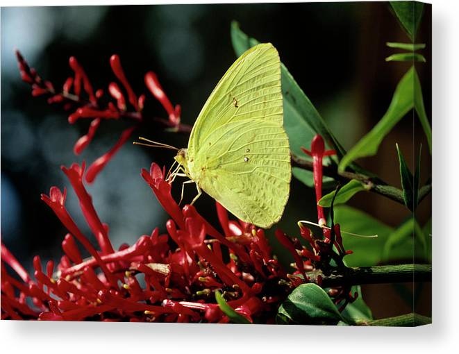 Phoebis Sennae Canvas Print featuring the photograph Cloudless Sulphur Butterfly by Sally Mccrae Kuyper/science Photo Library