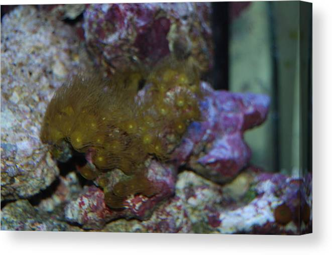 Taken Through Side Of Aquarium Canvas Print featuring the photograph Coral by Robert Floyd