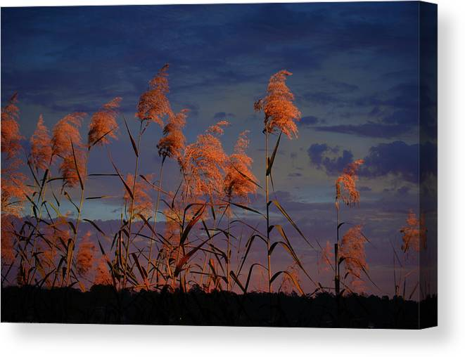 Landscape Canvas Print featuring the photograph Golden Common Reeds by Michele Kaiser