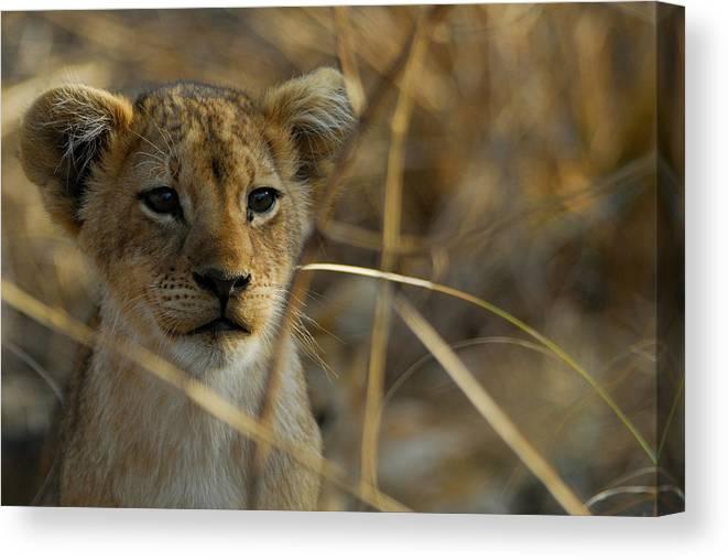 Lion Canvas Print featuring the photograph Lion Cub by Stefan Carpenter