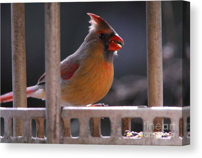 Cardinal Canvas Print featuring the photograph The Cardinal by Cindy Manero