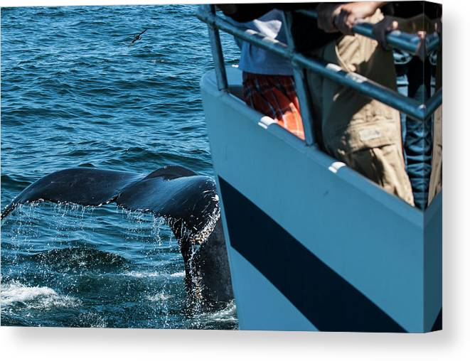 Cape Cod Canvas Print featuring the photograph The Tail Of A Whale Right In Front by Joe Klementovich