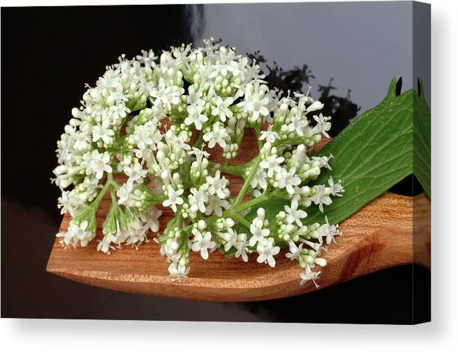 Valerian Canvas Print featuring the photograph Valerian Flowers (valeriana Officinalis) by Bildagentur-online/th Foto/science Photo Library
