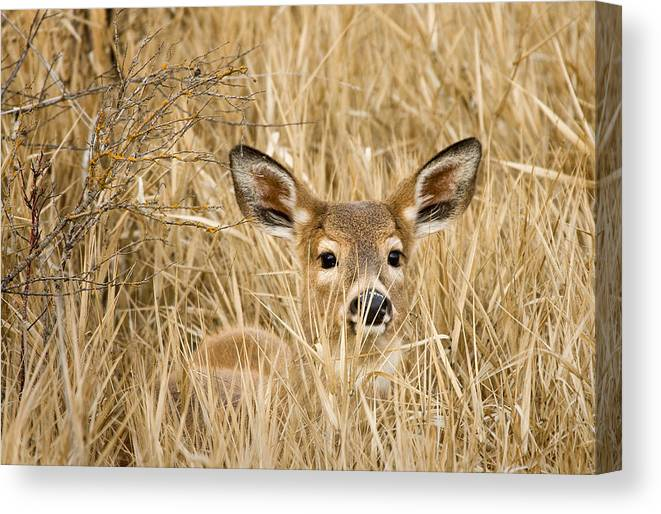 White Tail Canvas Print featuring the photograph Whitetail In Weeds by Paul DeRocker