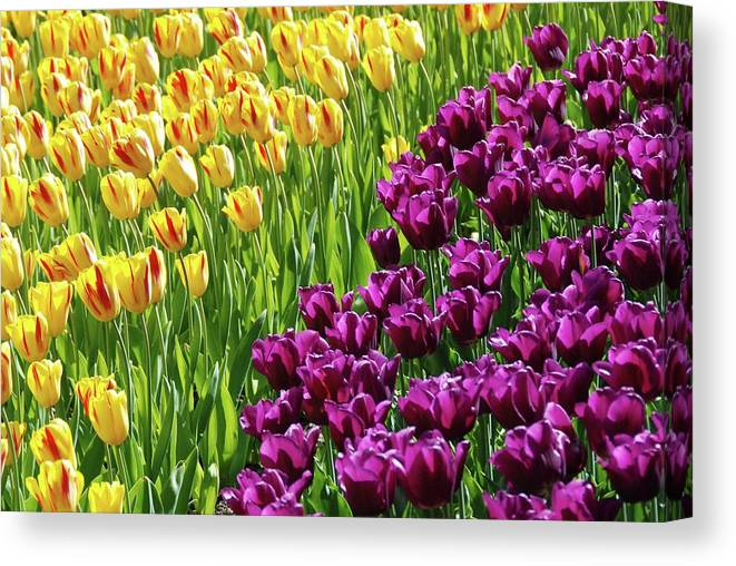 Yellow And Purple Tulips Canvas Print featuring the photograph Yellow And Purple Tulips by Allen Beatty