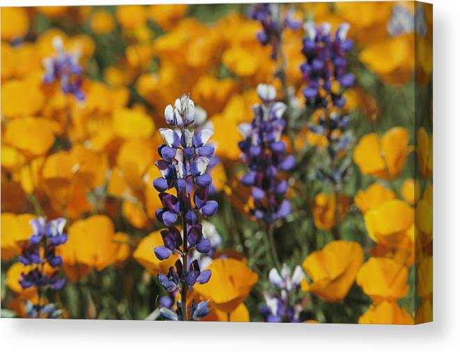 North America Canvas Print featuring the photograph Poppies And Lupine Flowers In A Santa by Marc Moritsch