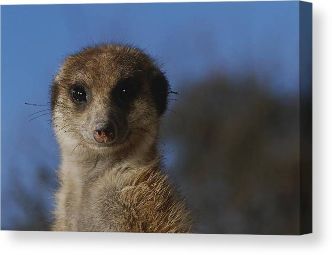 Animals Canvas Print featuring the photograph A Close View Of A Meerkat Suricata by Mattias Klum