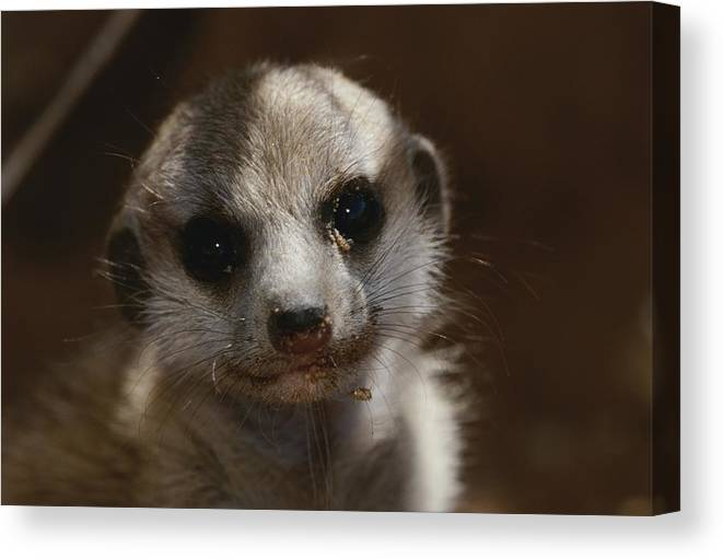 Africa Canvas Print featuring the photograph A Close View Of A Meerkat Suricata by Mattias Klum