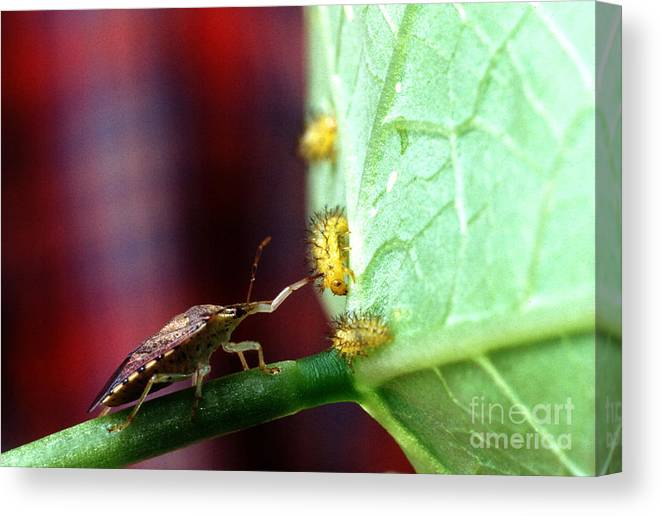 Mexican Bean Beetle Canvas Print featuring the photograph Biocontrol Of Bean Beetle by Science Source