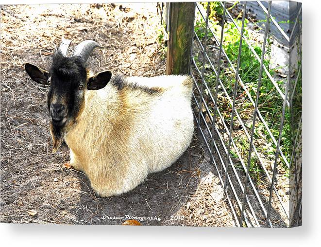 Mammal Canvas Print featuring the photograph Brown Goat by G Adam Orosco