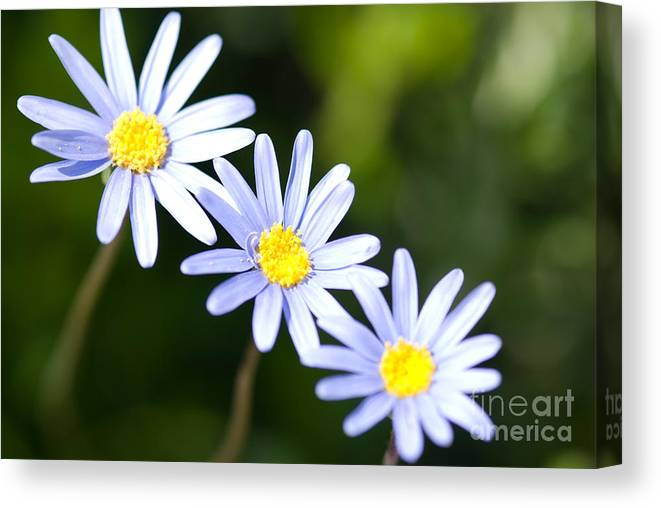 Flowers Canvas Print featuring the photograph Chamomiles by Elena Kotliarker