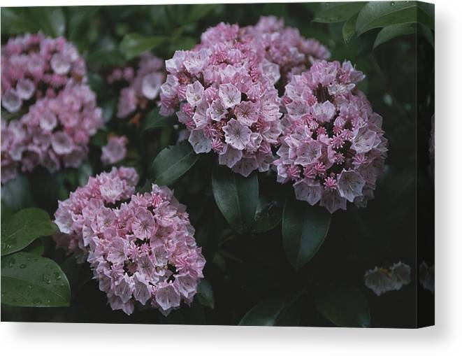 North America Canvas Print featuring the photograph Close View Of Flowering Mountain Laurel by Darlyne A. Murawski