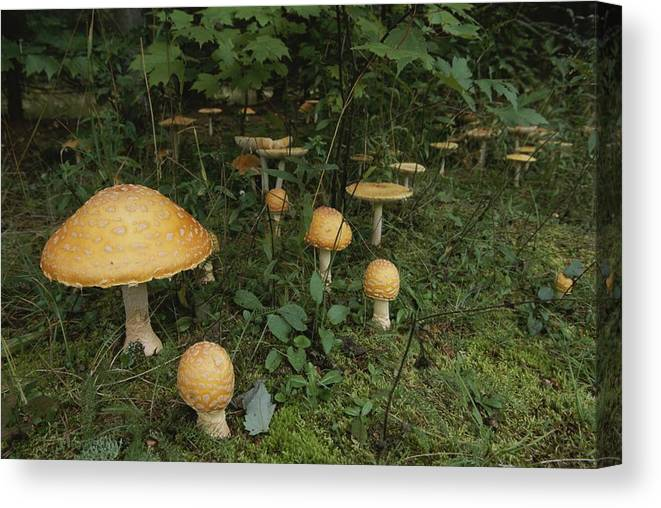 North America Canvas Print featuring the photograph Forest Mushrooms Sprout by Michael S. Lewis