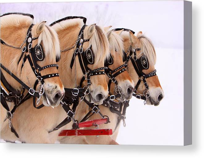 Sleigh Rally Canvas Print featuring the photograph Four Fjords by Pam Gabriel
