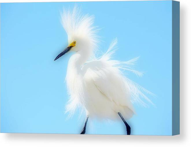 Snowy White Egret Canvas Print featuring the photograph Let The Fluff Fly by Fraida Gutovich