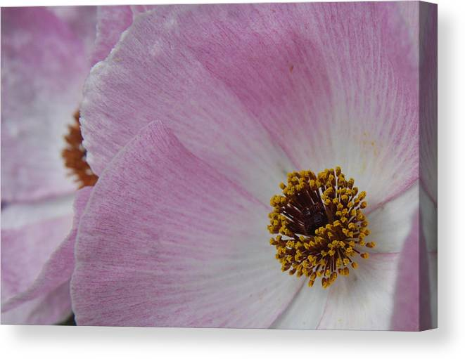 Poppy Canvas Print featuring the photograph Pink Prickly Poppy by Beth Gates-Sully