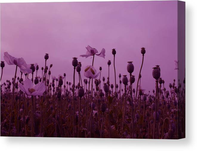 Poppies Canvas Print featuring the photograph Poppies In France by Jenny Potter