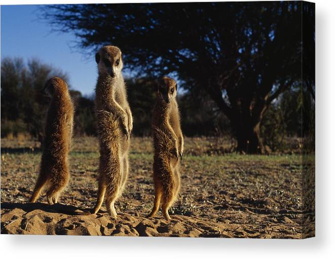 Africa Canvas Print featuring the photograph Three Meerkats With Paws Poised Neatly by Mattias Klum