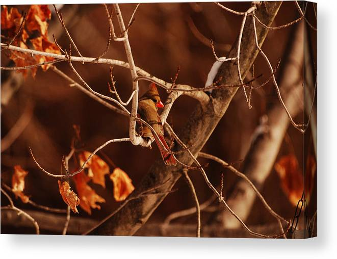 Cardinal Canvas Print featuring the photograph Trying To Blend In by Lori Tambakis