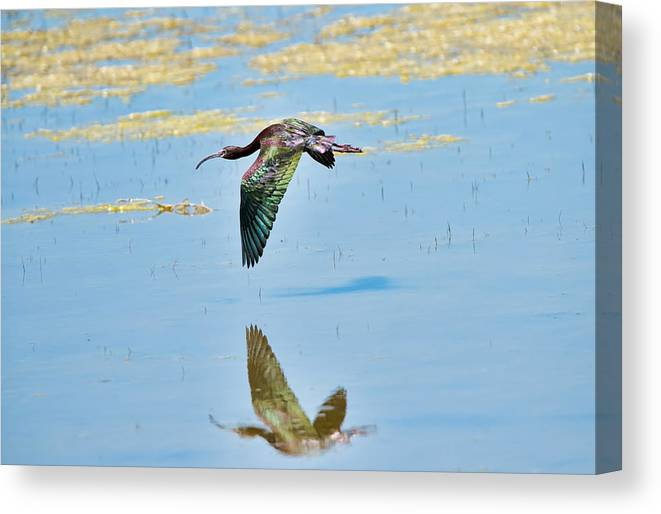 White Faced Ibis Canvas Print featuring the photograph White Faced Ibis In Flight by Donna Caplinger
