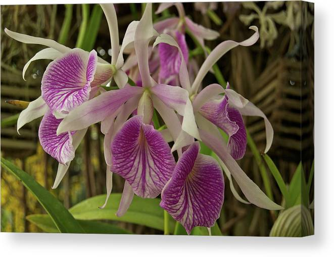 Orchids Canvas Print featuring the photograph White And Purple Orchids by Michael Peychich