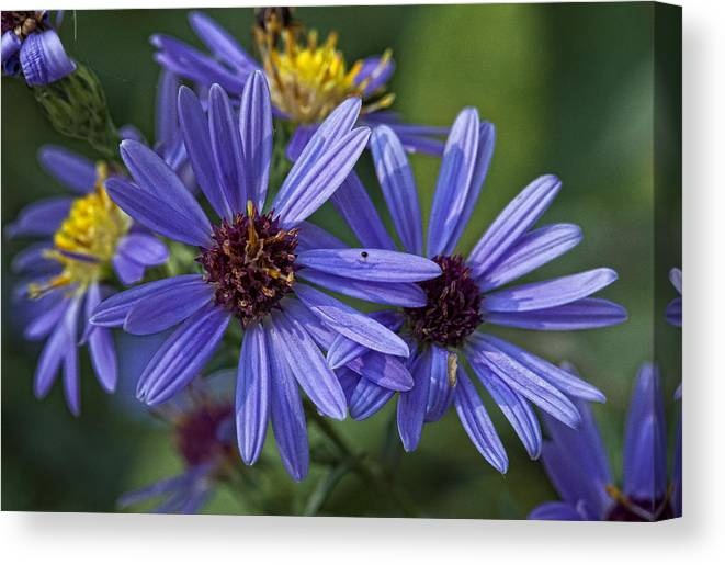 Flower Canvas Print featuring the photograph A Color Purple by Robert Ullmann