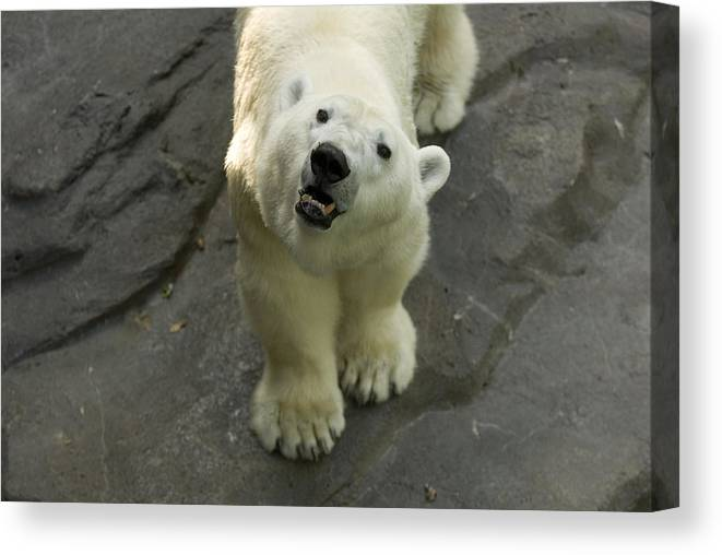 Photography Canvas Print featuring the photograph A Polar Bear Looks Up At Its Observers by Joel Sartore