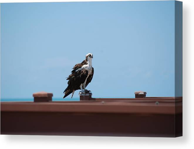 Osprey Canvas Print featuring the photograph Air And Sea Hunter by Peter McIntosh