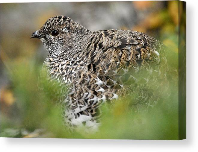 Blue Grouse Canvas Print featuring the photograph Blue Grouse Hen 1 by Larry Ricker