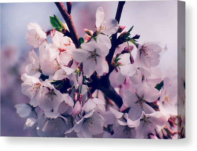 Cherry Blossom Trees Canvas Print featuring the photograph Carry Me by Angie Tirado