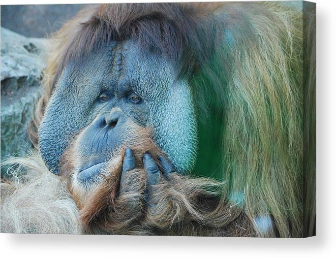 Animals Canvas Print featuring the photograph Clyde by Robert Boyette