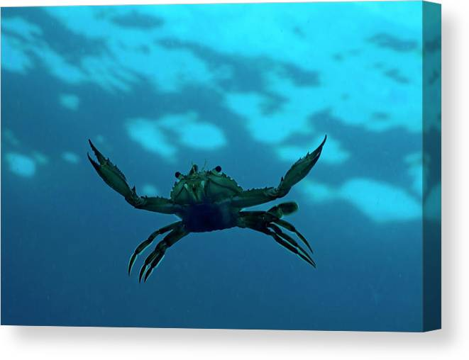 Animal Canvas Print featuring the photograph Crab Swimming In The Blue Water by Sami Sarkis
