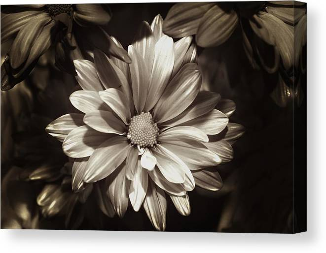 Daisy Canvas Print featuring the photograph Daisies In Sepia by Joyce Baldassarre