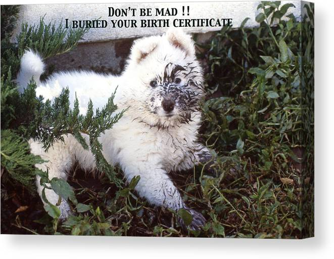 Samoyed Canvas Print Featuring The Photograph Dirty Dog Birthday Card By Ginny Barklow