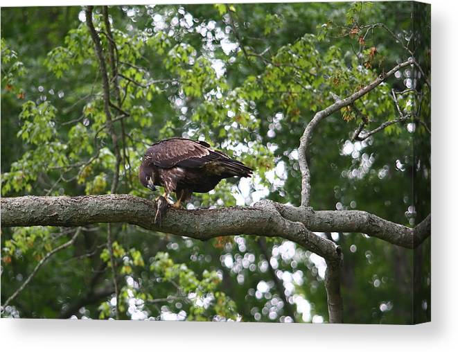 Eagle Canvas Print featuring the photograph Eagle Eating A Fish by James Jones