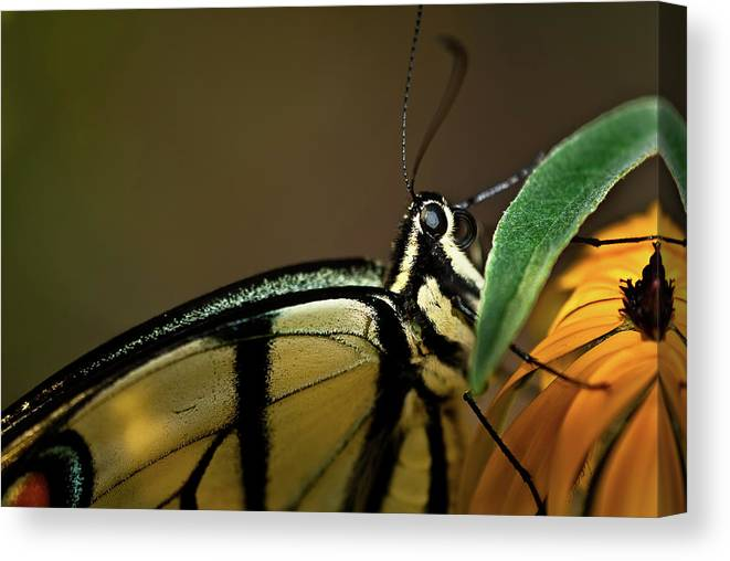 Eastern Tiger Swallowtail Papilio Glaucus Canvas Print featuring the photograph Eastern Tiger Swallowtail Butterfly by Onyonet Photo Studios