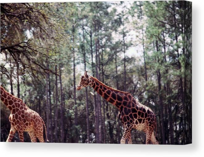 Giraffes Canvas Print featuring the photograph Giraffesgalore by Delbert Larkin