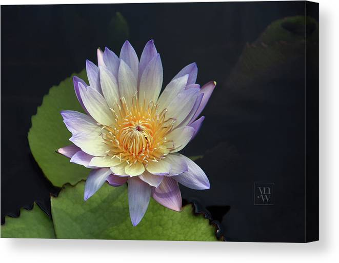 Water Lilies Canvas Print featuring the photograph Golden Hue by Yvonne Wright