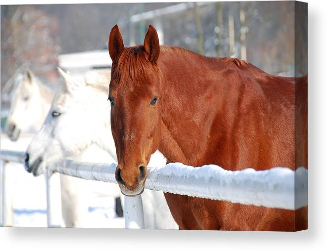Animal Canvas Print featuring the photograph Horses by Jaroslaw Grudzinski