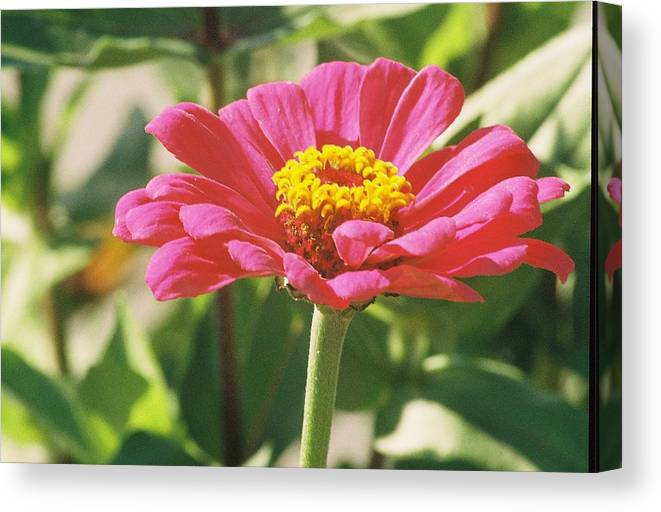 Landscape Canvas Print featuring the photograph Hot Pink Flower In Frankemuth Michigan by Cheryl Martin