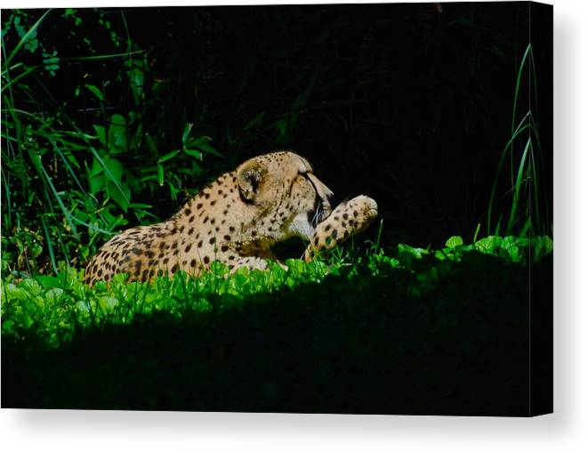 Cat Canvas Print featuring the photograph Lounging Cat by Gene Sizemore