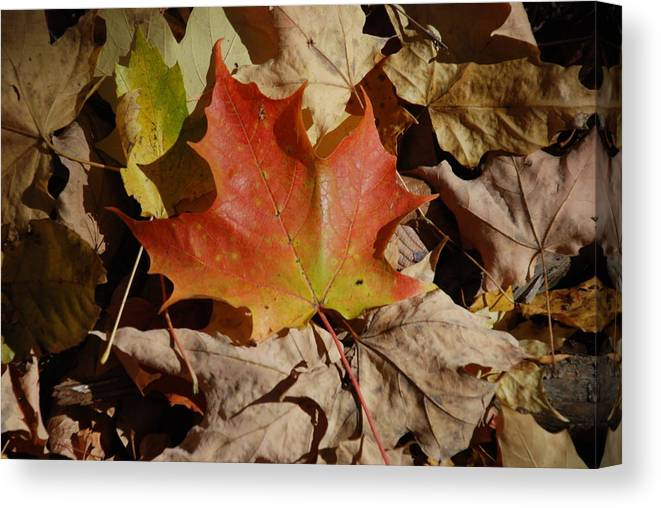 Nature Canvas Print featuring the photograph Maple Leaf by William Thomas