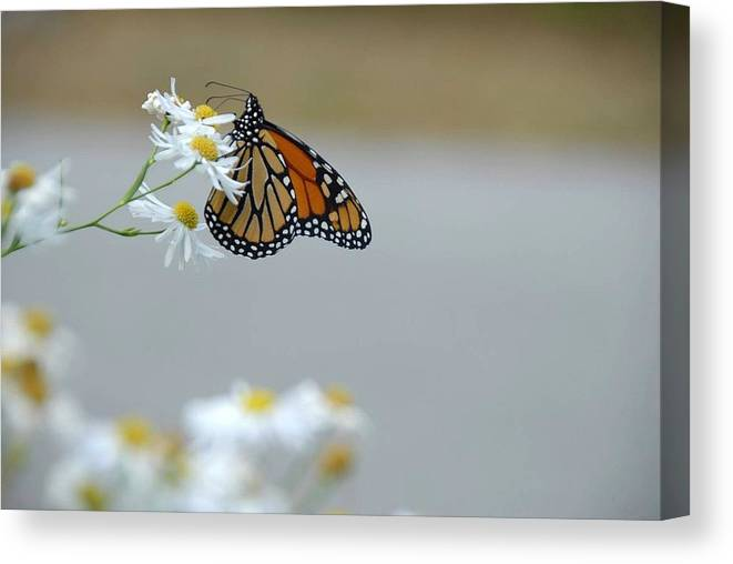 Monarch Canvas Print featuring the photograph Monarch  by AnnaJanessa PhotoArt
