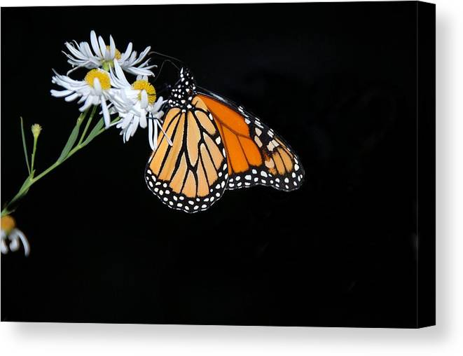 Monarch Canvas Print featuring the photograph Monarch King Of Butterflies by AnnaJanessa PhotoArt