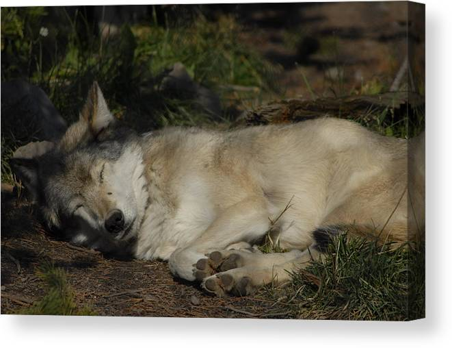 Dog Canvas Print featuring the photograph Nap Time by Curtis Gibson