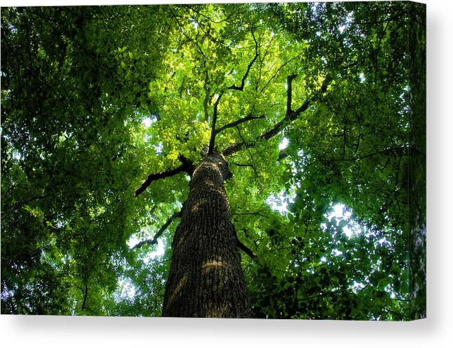 Old Growth Forest Canvas Print featuring the painting Old Growth by David Lee Thompson