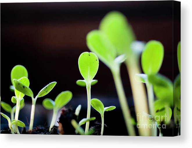 Beginnings Canvas Print featuring the photograph Seeding Shoots Coming Up From The Ground by Sami Sarkis