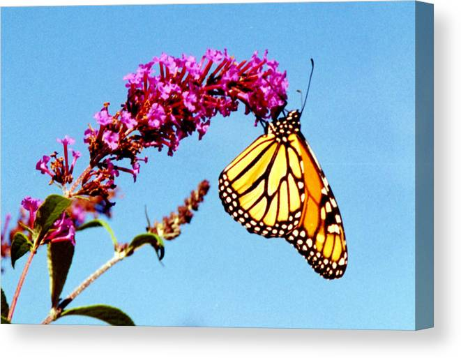 Monarch Butterfly Canvas Print featuring the photograph Skylands Monarch by Tom LoPresti